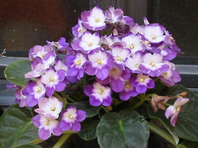 http://www.cantodasflores.compartilhandonaweb.com.br/imagens/flores/violeta01.jpg